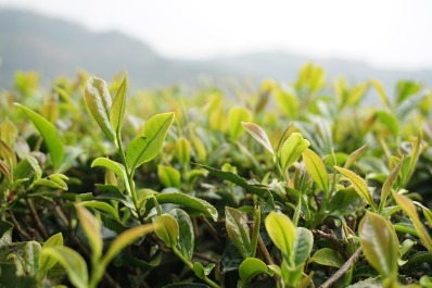 tea bush.jpg