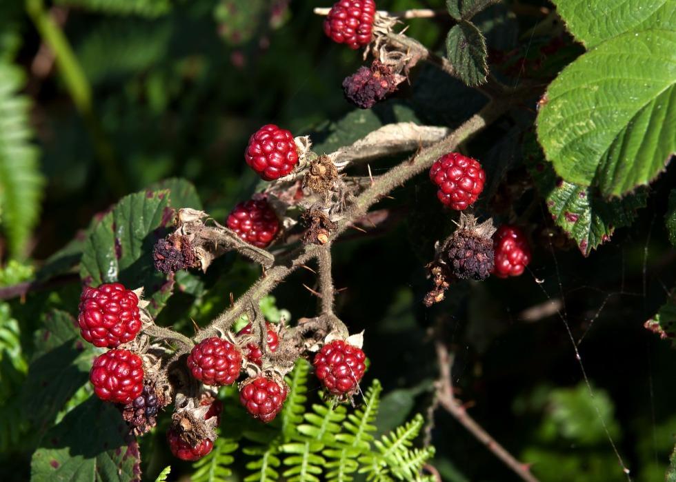 blackberry-973209_1280